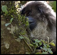 Lion Tailed Macaque @LTM (Indianature st2i) Tags: valparai anamalais anamallais tamilnadu westernghats tea teaestate wildlife indianature india nature 2016 2017 ltm liontailedmonkey liontailedmacaque macacasilenus