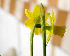 Please, look at me. Don't be shy (Micheo) Tags: sencillo life cosassencillas home casa narcisos daffodils yellow amarillo jaune bokeh dof timida shy timidez