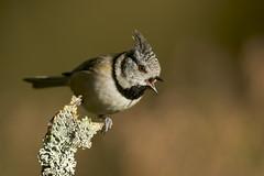 Crested Tit (J J McHale) Tags: lophophanescristatus crestedtit scotland highlands crestie nature wildlife