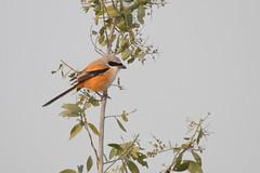 Alcaudón Schach (ik_kil) Tags: alcaudónschach longtailedshrike laniusschach keoladeonationalpark rajasthán keoladeo lanius shrike birdsofindia birds india