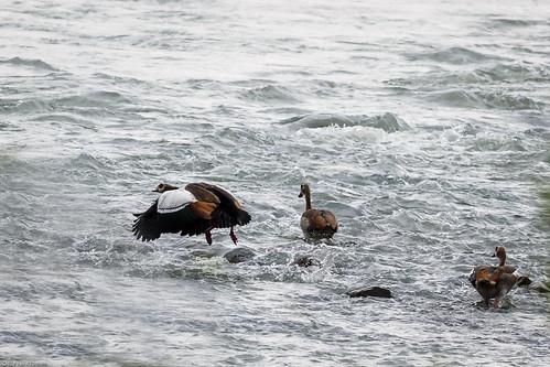 Egyptian goose/Alopochen aegyptiaca