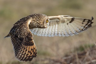 Short eared owl from Portland bill ,took around 500 images of the excellent birds !