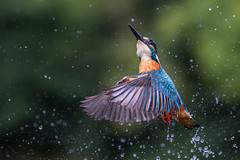 Kingfisher (Mr F1) Tags: kingfisher aledoathis johnfanning electricblue wild bif birdsinflight wings water colourful nature outdoors bokeh dof splash fast focus sharp detail detailed