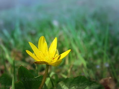 Early Spring (R_Ivanova) Tags: nature macro flower flora yellow green grass spring sony colors color outdoor rivanova риванова цветя природа пролет