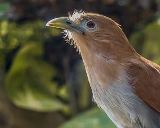 Piaya cayana (Squirrel Cuckoo / Cuco ardilla común) -EXPLORED 12/03/2017-