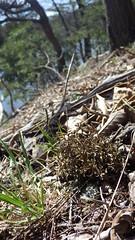 Cetraria arenaria at Hawn's Overlook 2 (Pete&NoeWoods) Tags: f16sch02 huntingdoncounty hawnsoverlookbarren shalebarren cetrariaarenaria lichen rare