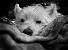 A Dog's Life (mswan777) Tags: west highland white terrier black pet dog cute westie nikon d70 sigma 24mm macro closeup rest eyes fur play friend