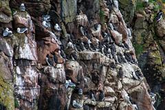 crowds (pamelaadam) Tags: bird digital visions scotland spring aberdeenshire meetup seagull may fotolog cromarty 2015 thebiggestgroup bullarsofbuchan