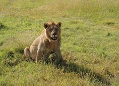 Kenya (Masai Mara) He watches us [Explored, 20/08/2015] (ustung) Tags: park nature animal nikon kenya lion national masaimara