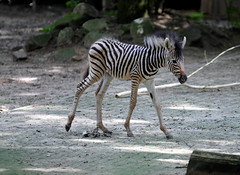 Zebra Ouwehands Dierenpark (lesbaer4) Tags: zoo zebra rhenen ouwehandsdierenpark ouwehandszoo