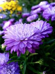The color purple (clkdoglover) Tags: colourartaward purplemum