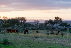 Wild horses at Faia Brava Reserve