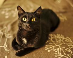 Cat Eyes (heikole-art.net) Tags: portrait brown black berlin cat canon eos eyes sigma indoor porträt katze braun augen schwarz 2015 5dmarkii óðin heikole