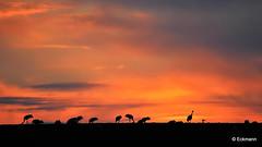 Sunset with cranes - explore 04. Okt. 2015 (Nephentes Phinena ☮) Tags: birdmigration cranes kraniche vogelzug glöwitz bird birds animal