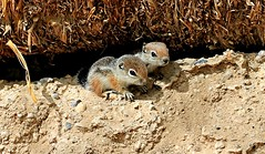 Baby Antelope Squirrels (Monkeystyle3000) Tags: