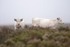 Misty Morning (heathernewman) Tags: uk morning england mist nature animal misty countryside cattle cows heather somerset vegetation livestock exmoor mistymorning dunkery holnicote dunkerybeacon holnicoteestate