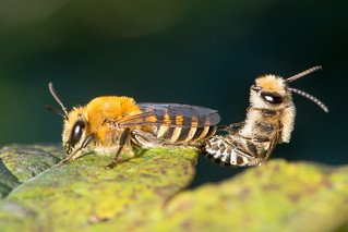 Ivy bees (Colletes hederae) in cop (275/365)