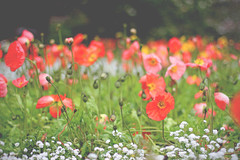 (Paul J's) Tags: orange white flower garden 50mm poppy poppies wellington botanic alyssum f14l