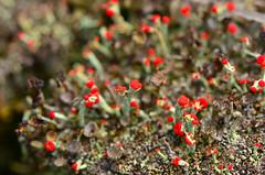 British Soldiers (Cladonia cristatella) (wackybadger) Tags: red fungus britishsoldiers cladoniacristatella nikond7000 nikon105mmf28gafsmacro11vr