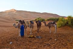 Erg Chebbi : Preparando la marcha (Jos A. Conde) Tags: desierto marruecos dunas merzouga ergchebbi