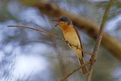 0I6A7847 - Leaden Flycatcher (Female) (copsychus) Tags: bird birds australia breeding canberra act nesting 2015 leadenflycatcher pineislandreserve