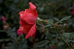 red rose rained (Pejasar) Tags: red oklahoma wet rain rose garden neighborhood tulsa