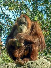 Orangutan Portrait (J.T. Lindroos) Tags: portrait lumix zoo ape louisville orangutang louisvillezoo panasoniclumix fz70 dmcfz70