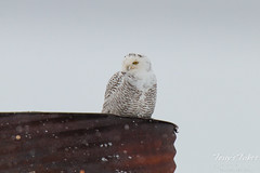 Snowy Owl makes surprise appearance