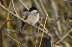 Chubby Chickadee (Neal D) Tags: bird bc chickadee blackcappedchickadee abbotsford milllake poecileatricapillus