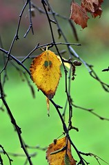 LBG NOV 15 - 8 (Lostash) Tags: life autumn trees tree nature leaves leaf colours autumnal leicesterbotanicalgardens