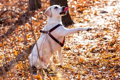 There she is!! Hey Ma!! (F.P Photo) Tags: trees dog fall love leaves puppy happy paw woods lab labrador yellowlab trail labradorretriever traildog puppylab