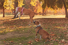 Leapfrog (Cruzin Canines Photography) Tags: california autumn dog pet pets playing cute fall dogs nature animal animals canon outside mammal outdoors funny play action naturallight canine pit pitbull domestic bakersfield goldenhour americanpitbullterrier hartpark domesticanimal pitbullterrier 5ds canon5ds canoneos5ds