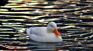 Wild white duck.