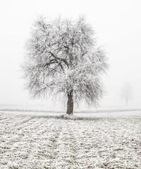 Tree in winter (#sts) Tags: winter tree fog foggy snow coldoutside
