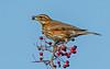 DSC7765  Redwing.. (jefflack Wildlife&Nature) Tags: redwing redwings thrushes thrush birds avian animal wildlife wildbirds woodlands wintermigrant berries hedgerows heathland countryside nature ngc npc