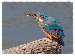 Blauet - Martín pescador - Kingfisher - Alcedo atthis (aurearamon) Tags: blauet aves ocells birds bird ave aus olympus lumix100300f456 micro43 flix alcedoatthis