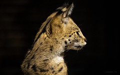 Serval Cat In Profile (philnewton928) Tags: servalcat serval leptailurusserval wildcat cat feline predator mammal animal animalplanet nature natural johannesburgzoo africa southafrica nikon nikond7200 d7200