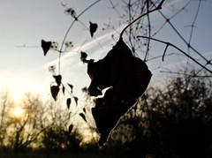 Outliner (Zandgaby) Tags: backlight leaf outline winter fujifilm artistic