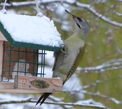 Grauspecht (isajachevalier) Tags: grauspecht vogel tier wildtier winter natur panasonicdmcfz150