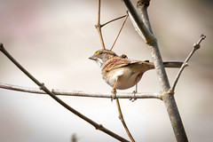 White throated Sparrow (Scouttyboy) Tags: whitethroatedsparrow
