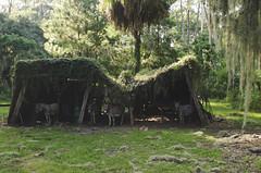 Hunker Down (moke076) Tags: nikon d7000 ossabaw island barrier ga georgia run down barn shack shed ivy donkeys feral animals spanish moss wild donkey hiding falling