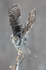 Chouette épervière - Surnia ulula - Northern Hawk-Owl (Anthony Fontaine photographe animalier) Tags: