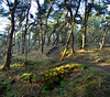 heide pano december 2016 (eddy.vanransbeeck) Tags: bos heide natuur vreddy limburg lommel landschap buiten belgium