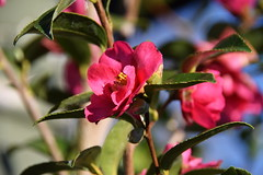 Winter Camellia (ngawangchodron) Tags: m32 victoriagridproject oakbay victoria bc canada vancouverisland taken15december2016 yyj