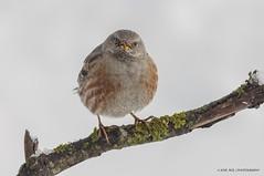 The Younger (jrosvic) Tags: aves birds acentoralpino alpineaccentor wildlife snow winter sierraespuña murcia spain ornithology ornitología pájaro nikond2xs nikonafs300mmf4