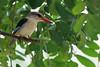 2016 10 14_Brown-hooded Kingfisher-1.jpg (Jonnersace) Tags: brownhoodedkingfisher kruger lowersabie canon krugernationalpark africa