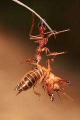 IMG_7248(1) (Roving_photographer) Tags: bull ant myrmecia mole cricket gryllotalpa predator prey royalnationalpark sydney nsw australia insect