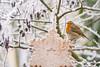 Robin     Rotkehlchen (Natural Photography by CJH) Tags: robin rotkehlchen robinredbreast red redbreast winter tree feed ice snow star icicle garden garten bird vogel natural wildlife nature wild nikon d500 telephoto 300mm pf f4 300mmf4 300f4 nikkor pfedvr tc14eiii christmas