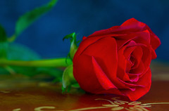 A Red Rose for the New Year (12bluros) Tags: rose red flower stilllife canonef100mmf28lmacroisusm cutflower rosa