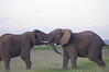 IMGP8163b (Micano2008) Tags: kenia africa amboseli parquenacional pentax mamifero elefanteafricanodesabana loxodontaafricana aves garcillabueyera bubulcusibis lucha juego